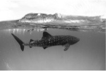 Whalesharks Rift Valley Adventures A whale of a time...